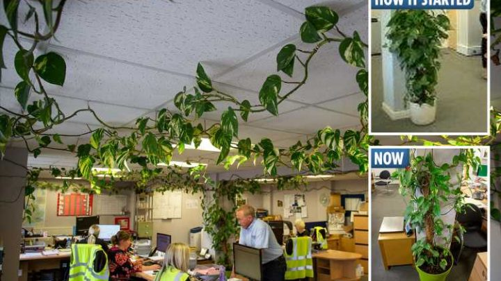 Small office plant bought ten years ago grows into 300ft monster hanging over every desk