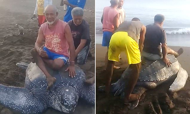 Cruel locals take turns to RIDE a leatherback turtle in Indonesia