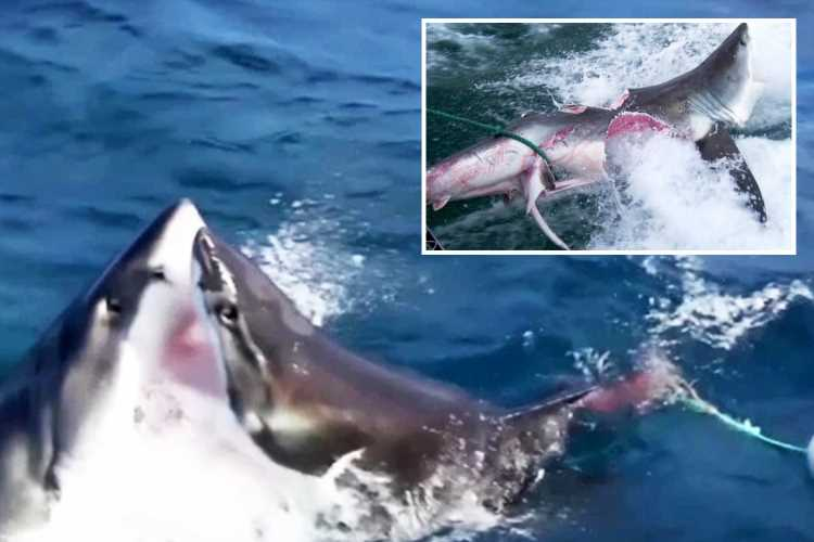 Bloody aftermath of brutal fight between two CANNIBAL Great White sharks captured in terrifying pics – The Sun