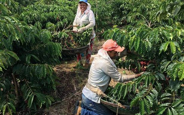Coffee growers' meet may bring a cuppa cheer for India