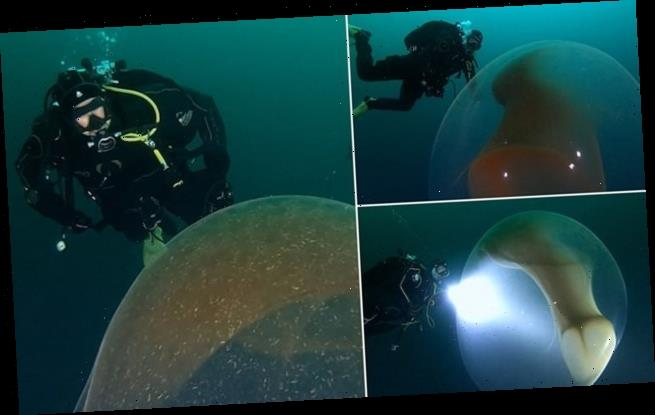 Epic sight as a diver swims around a giant 10-armed squid's egg sac