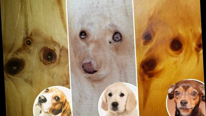 We spot nine dog faces on wood after an owner saw her pet pooch's face on a display floorboard at B&Q – The Sun