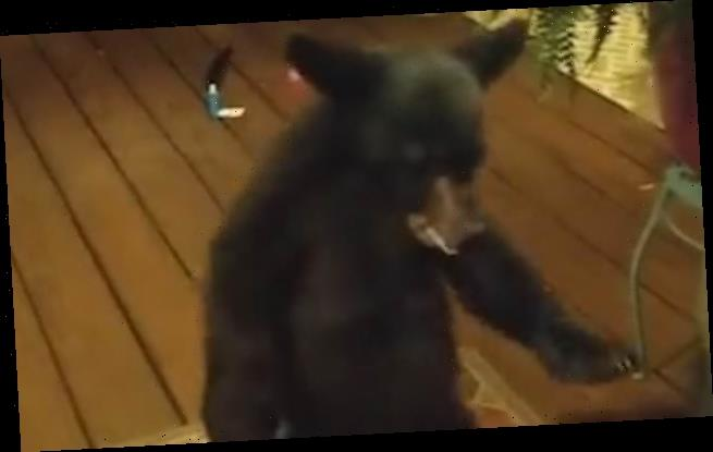 Curious cub peeks through house door before mama bear drags it away