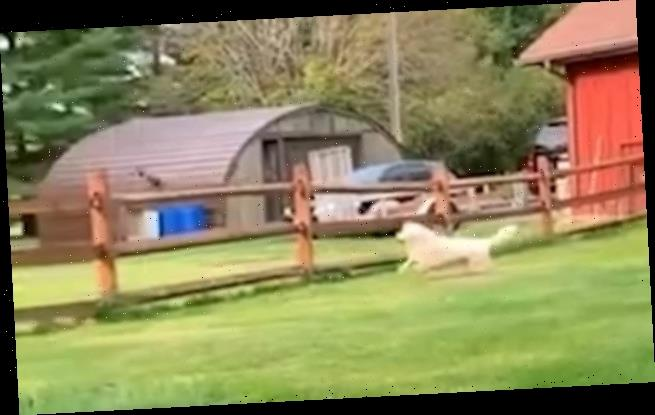 Squirrel makes a spectacular escape when two dogs start chasing it