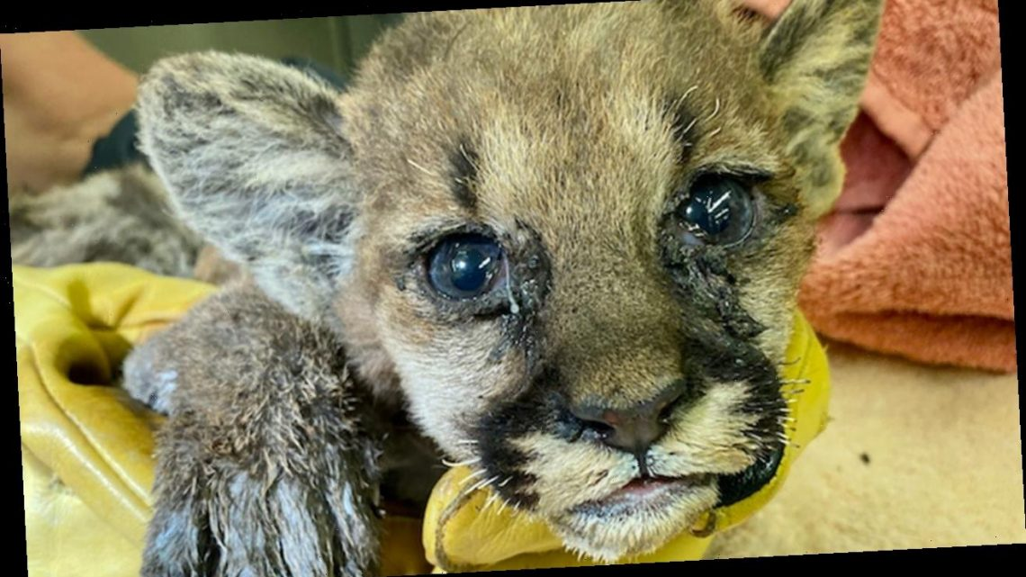 Badly burned young mountain lion cub rescued from California Zogg wildfire