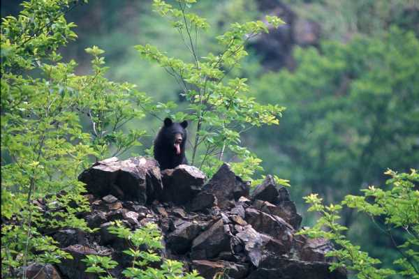 Japan Faces Worst Wild Bear Attacks in Five Years During Virus