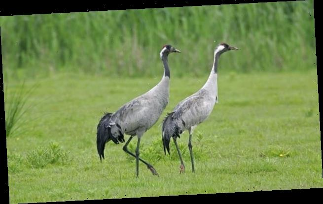 Return of the cranes hits a record high