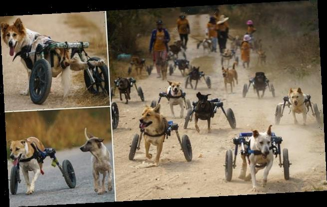 Dozens of disabled stray dogs use wheelchairs for their daily walk