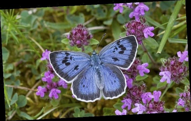 Butterflies enjoy 'pandemic effect' as they have third 'good year'