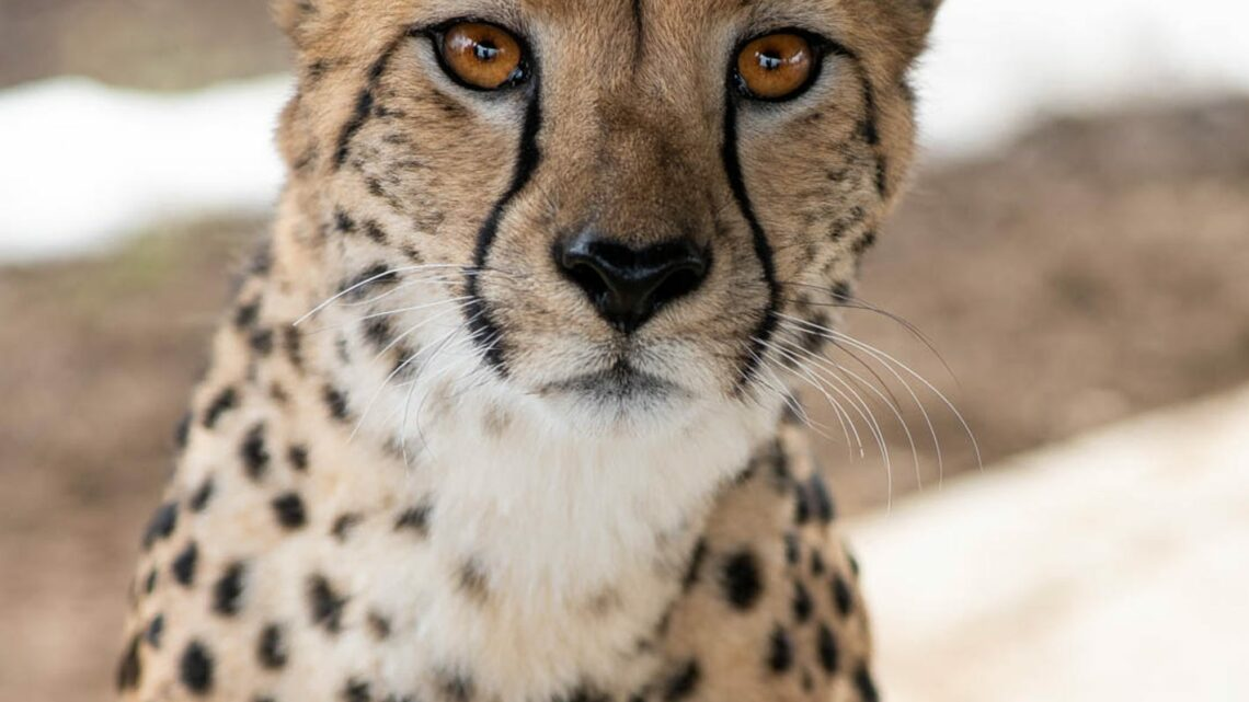 Zookeeper injured after being attacked by a cheetah at the Columbus Zoo
