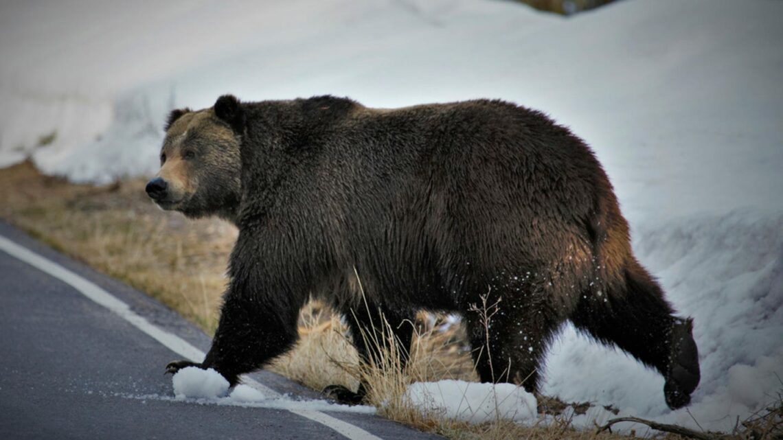 Grizzly bear attack kills backcountry guide near Yellowstone National Park
