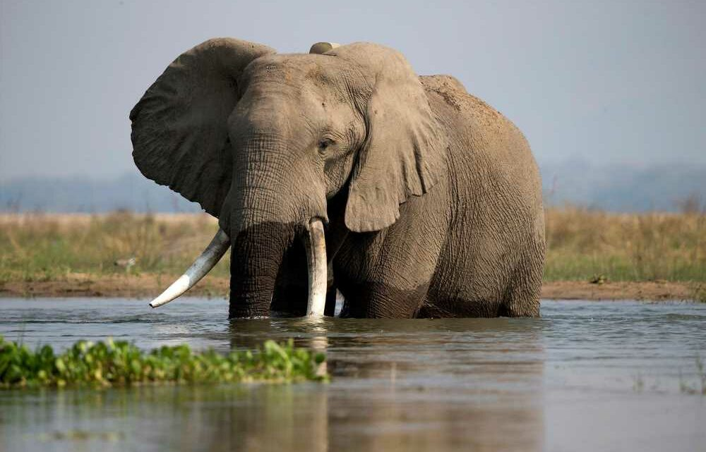 Zimbabwe to start selling hunting rights to shoot 500 endangered elephants