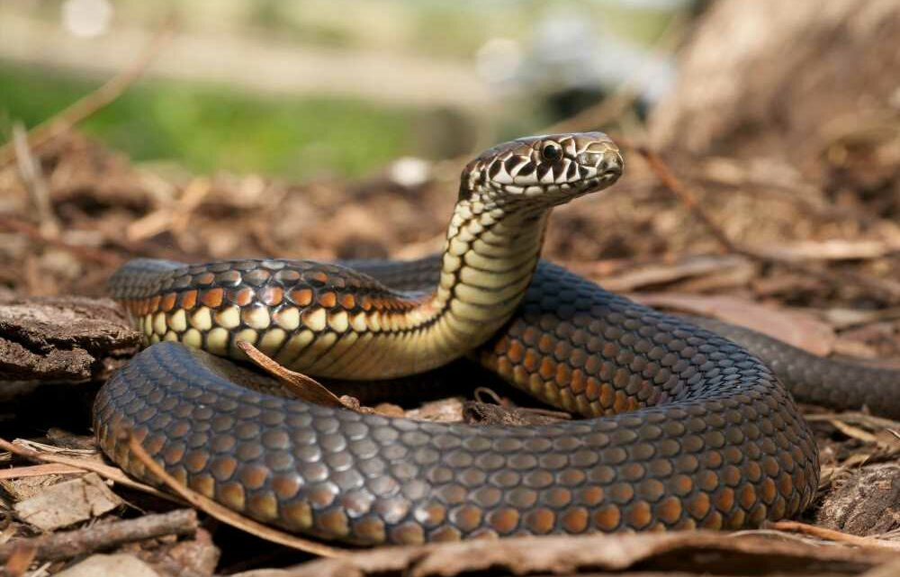 Australia's 'cannibal mouse' epidemic about to get worse – with snake plague