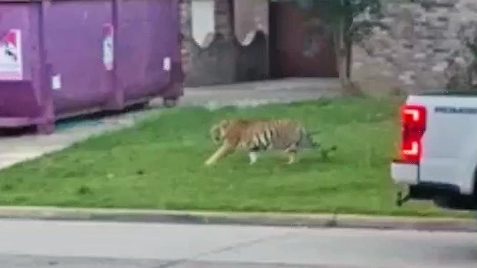 Houston tiger found safe after terrorizing neighborhood