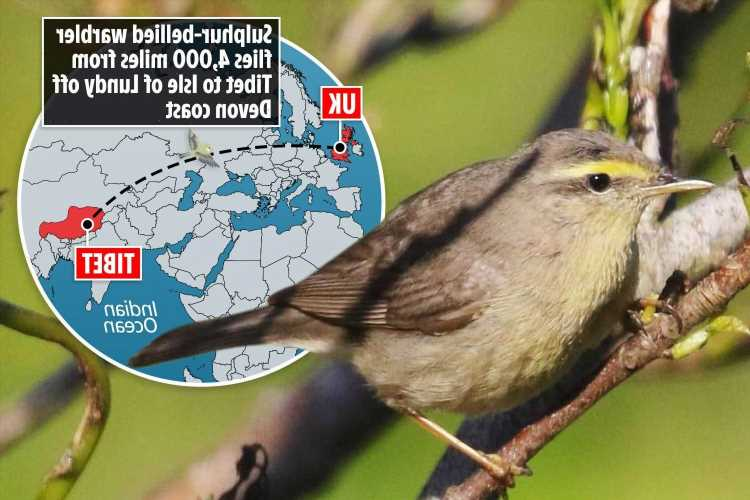 Birdwatchers scramble to hire boats to see rare bird after it flies 4,000 miles to the UK for first time