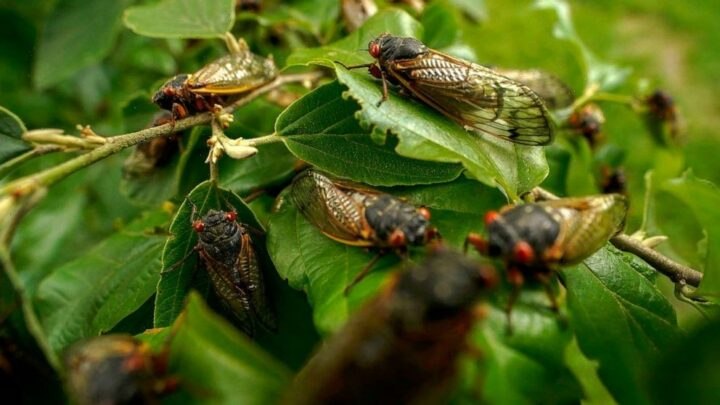 Cicada cookbook draws attention to food insecurity