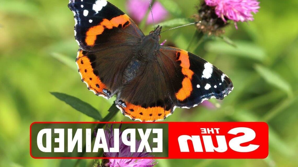 Butterfly Count 2021: What is it and when does it start?