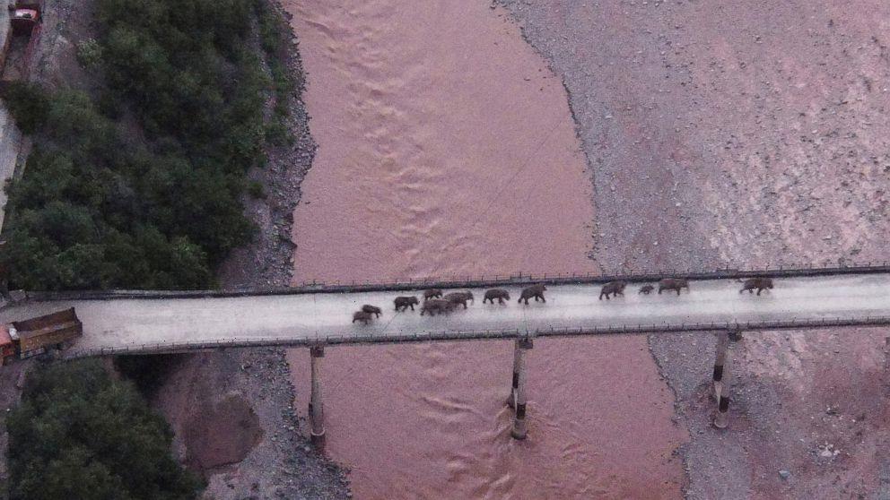 China's wandering elephants may finally be heading home