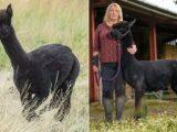 Geronimo the alpaca's owner pleads with Boris Johnson for a reprieve