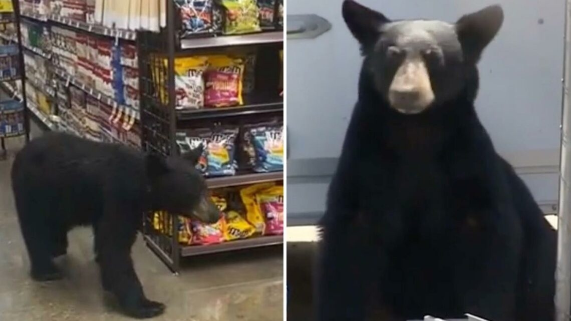 Shoppers terrified as massive bear stalks aisles at California grocery store