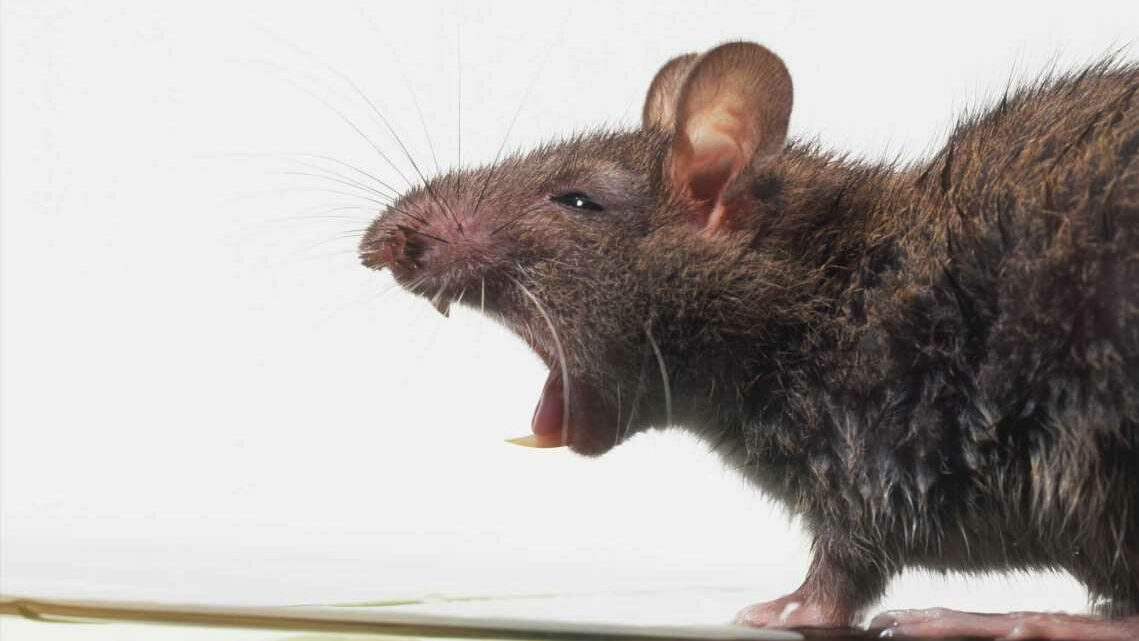 Giant rats invading homes through toilets with 'brave' creatures terrorising Brits